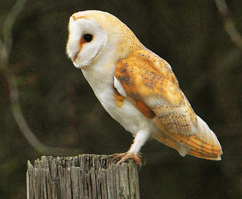 Birds In Sulgrave Barn Owl